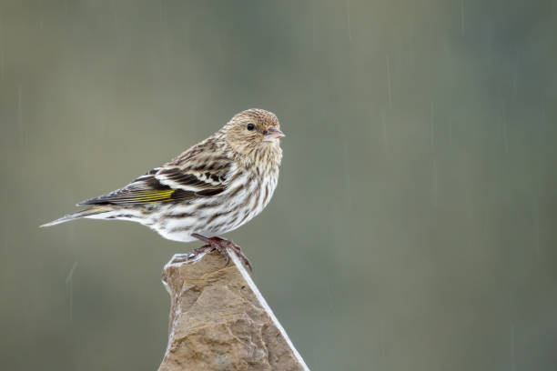Pine Siskin - Spinus pinus Pine Siskin - Spinus pinus, perched on a rock during a rain storm. Making eye contact. finch stock pictures, royalty-free photos & images