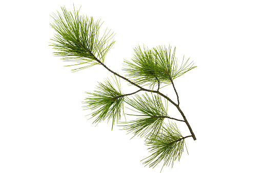 Pine spruce green branches isolated on white background. Tree parts decoration.
