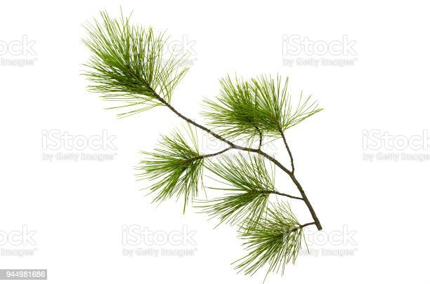Photo of Pine spruce green branches isolated on white background. Tree parts decoration.