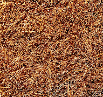 Pine straw needles covering the ground