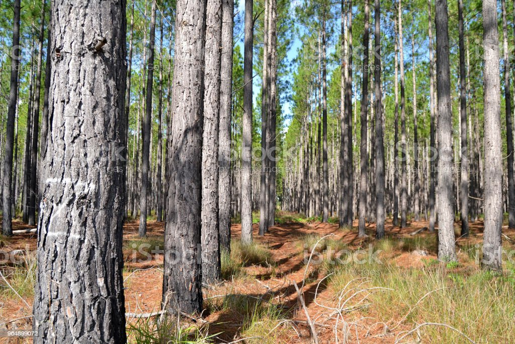 Pine Timber Plantation royalty-free stock photo