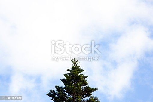 Pine tree against sky, beautiful nature background with copy space, full frame horizontal composition