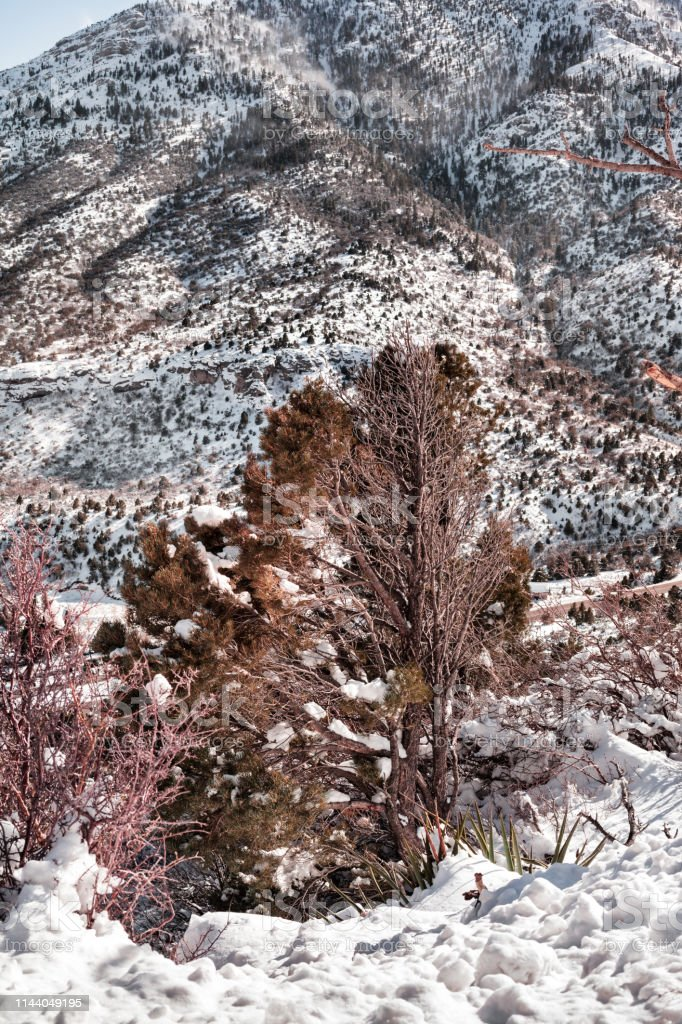 Pine tree and mountain with snow in the winter stock photo