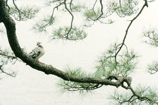Pine tree and pigeon