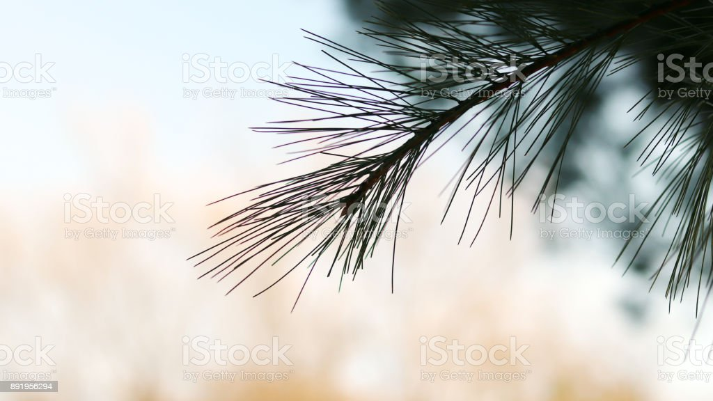 Pine tree and soft blue background. stock photo