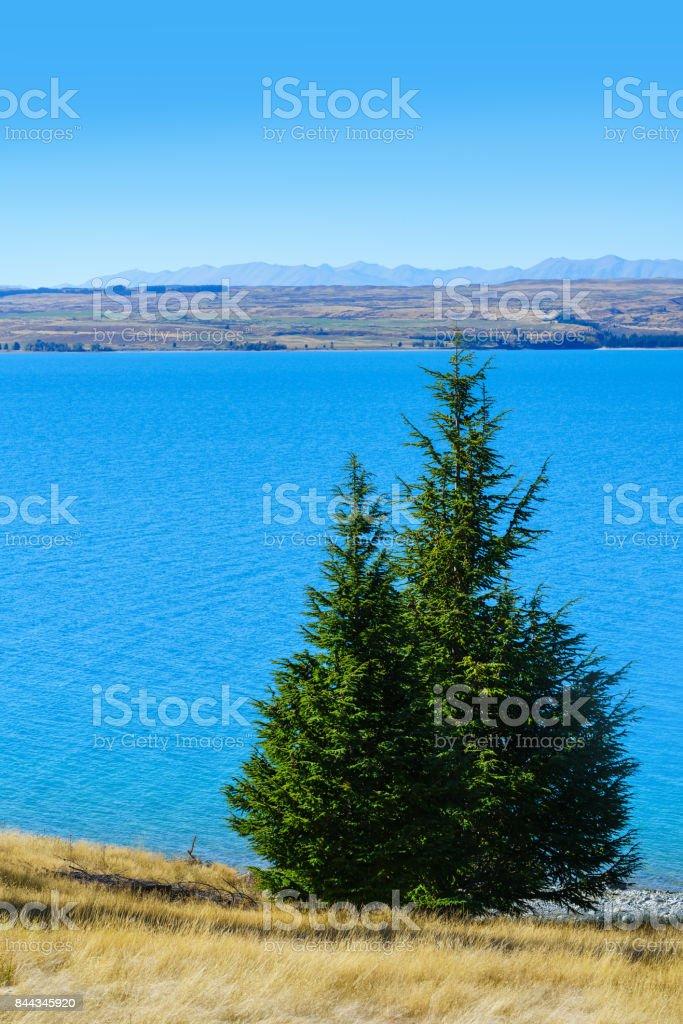 Pine tree at Lake Pukaki along Mount Cook /Aoraki road in autumn , Mackenzie District, Canterbury region, South Island of New Zealand stock photo