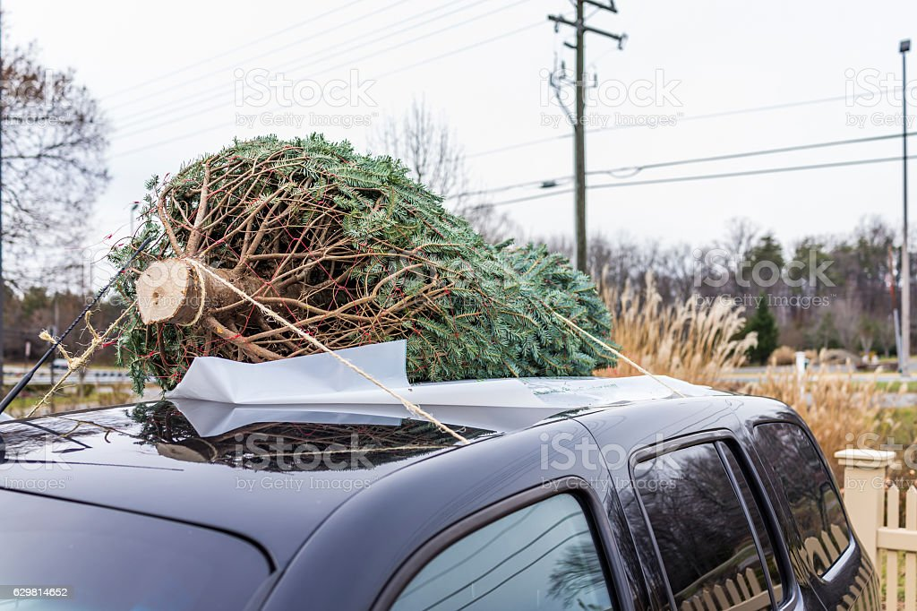Pine tree attached to top of car for transport foto de stock royalty-free