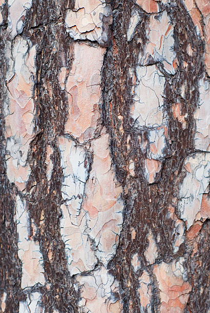 Pine tree bark stock photo