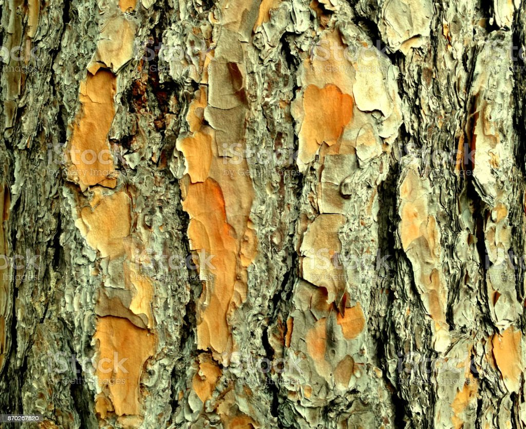 Pine Tree Bark stock photo