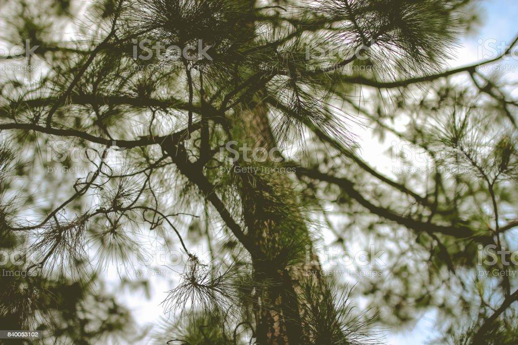 Pine tree bottom up stock photo