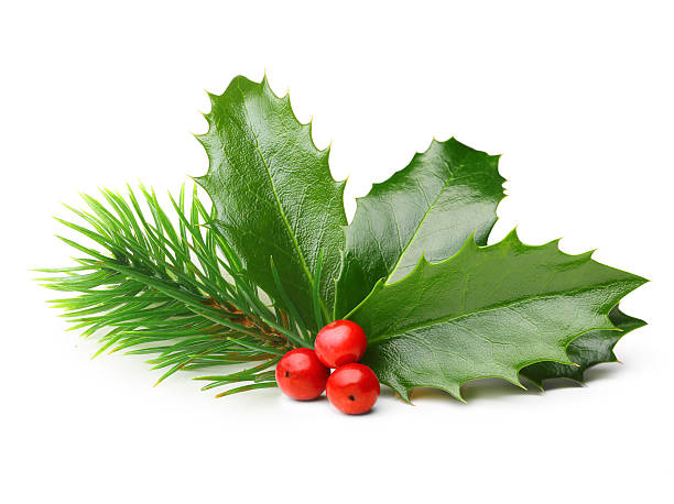 pine tree branch and holly berry leaves - twijg stockfoto's en -beelden