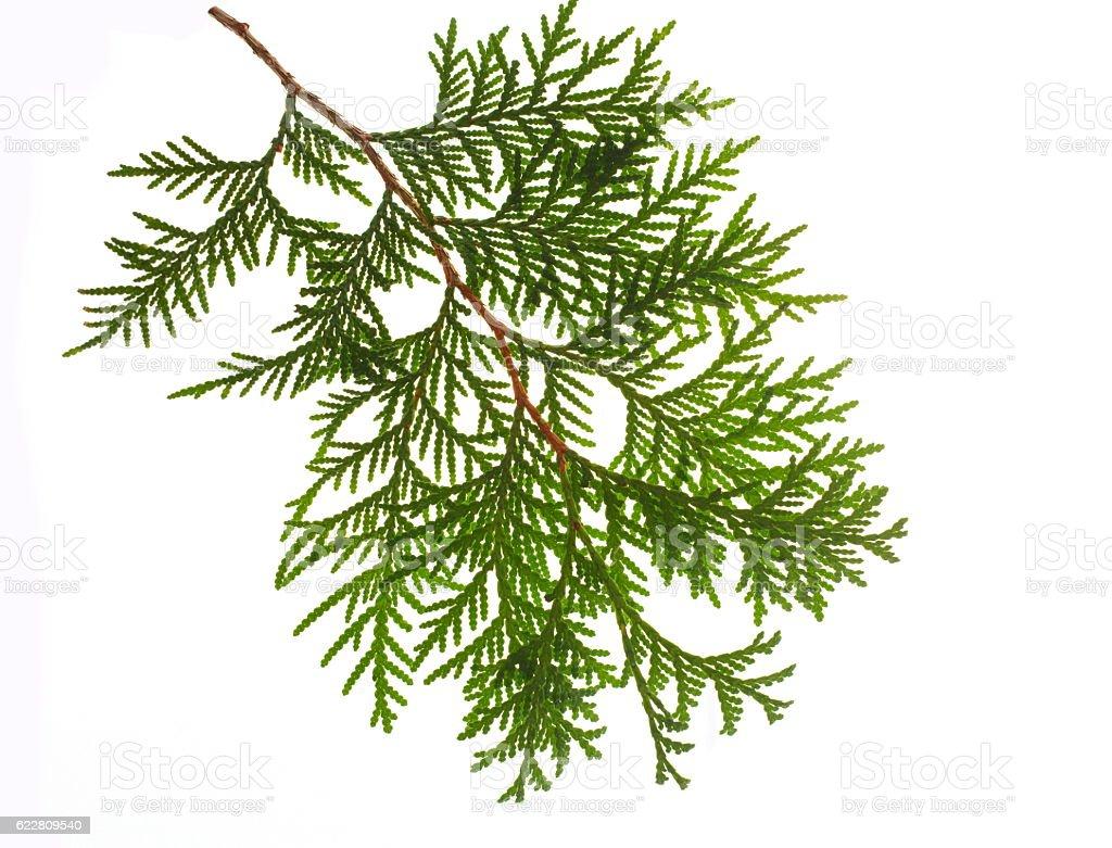 Pine Tree Branch Isolated stock photo