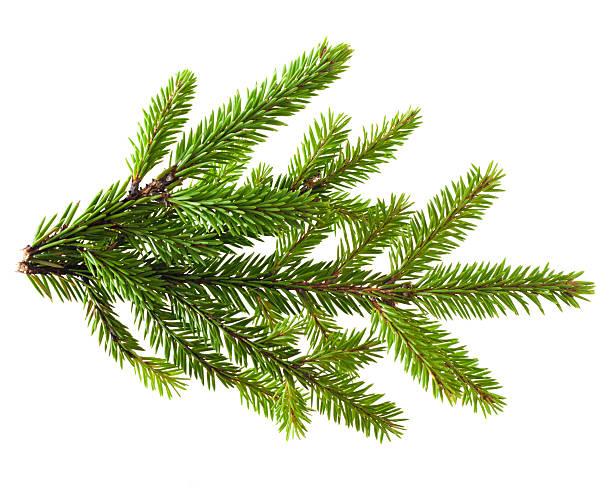 Branche d'arbre de pin - Photo