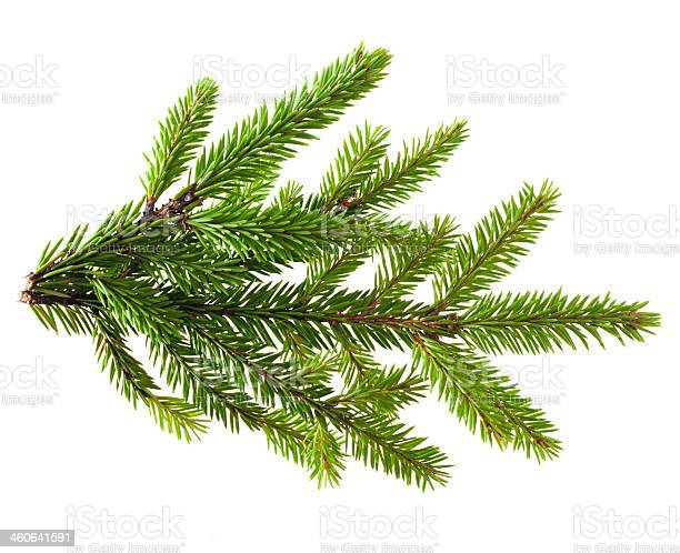 Photo of Pine tree branch on a white background
