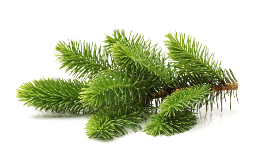 Pine tree branch on a white background