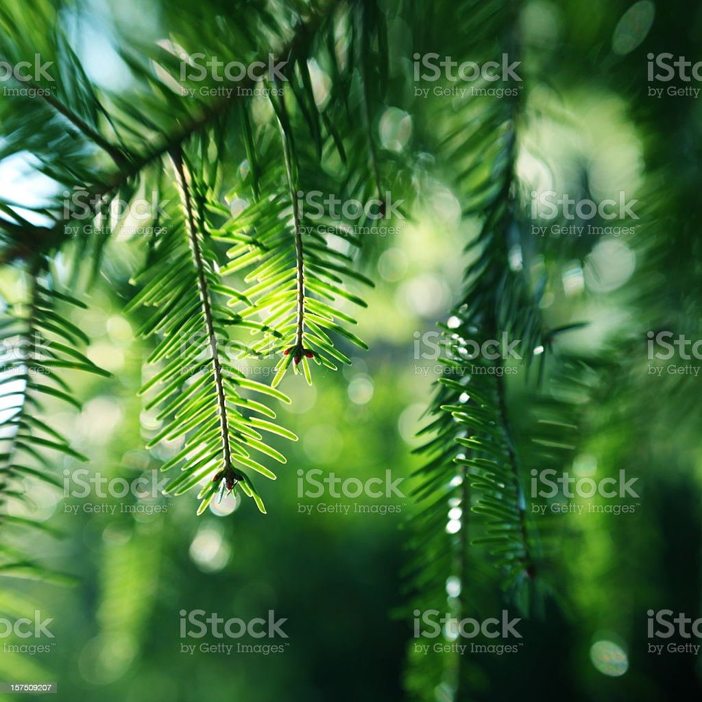 Pine Tree Branch royalty-free stock photo