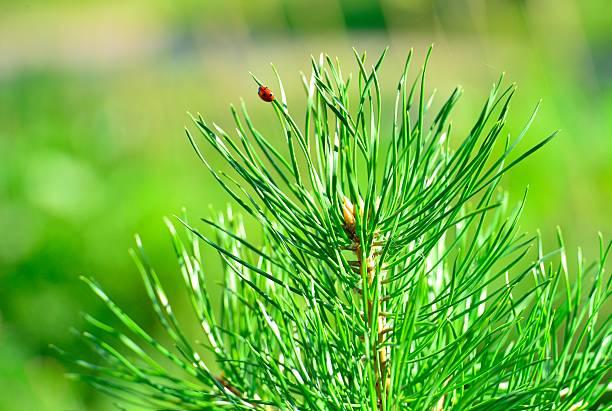Cтоковое фото Pine tree branch with ladybird
