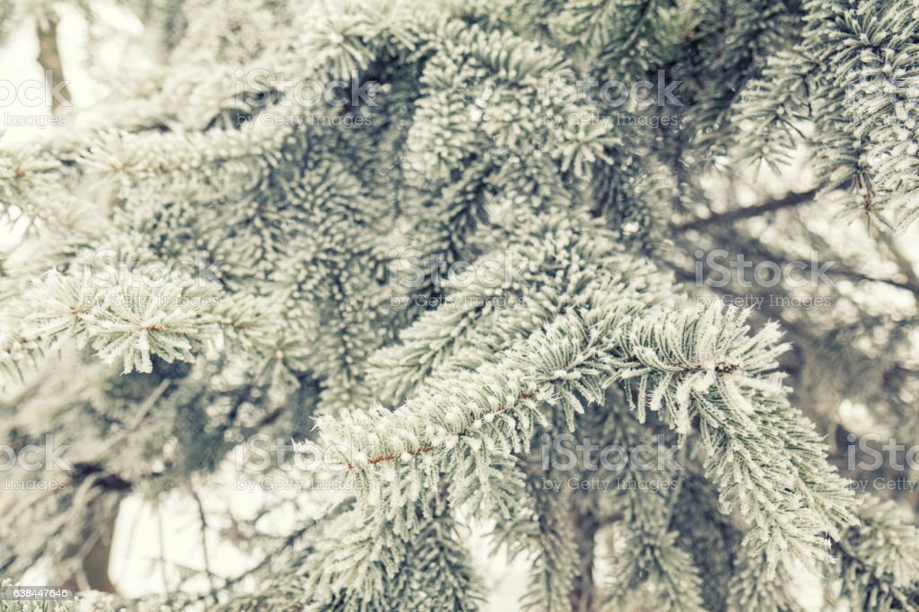 Pine tree branches covered with hoarfrost royalty-free stock photo