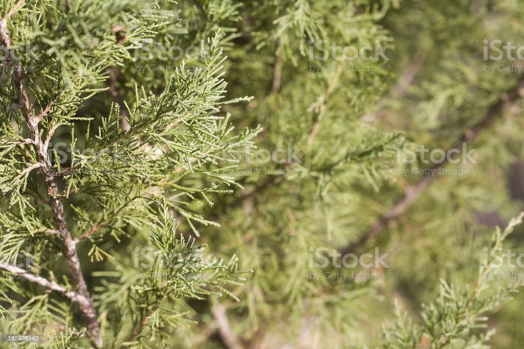 Pine Tree Closeup, Christmas and Holiday Background royalty-free stock photo