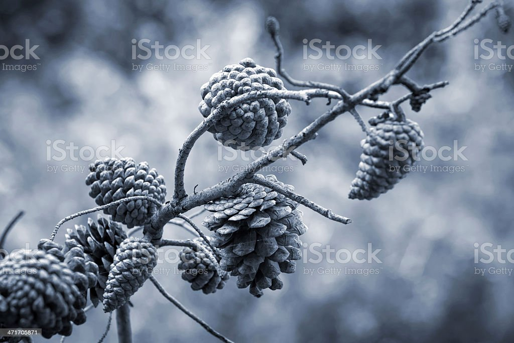 Pine tree cones on the branch. Monochrome photo royalty-free stock photo