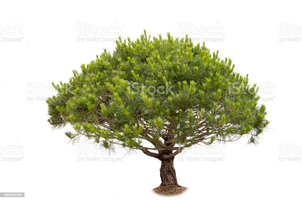 pine tree cutout stock photo