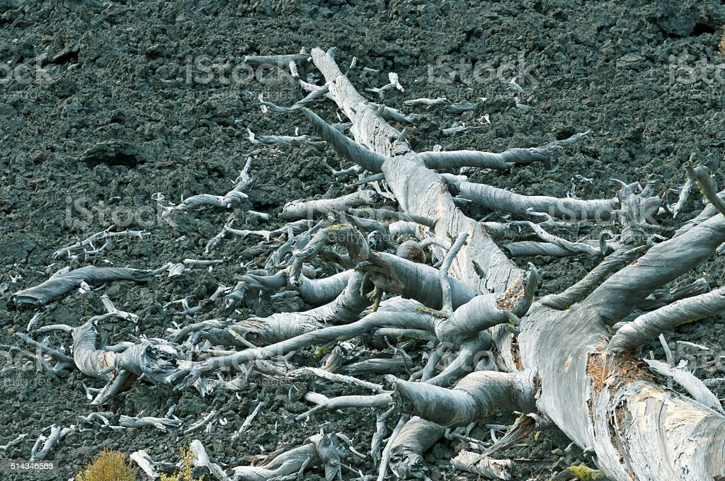 Pine tree fallen onto ancient lava flow in central Oregon stock photo