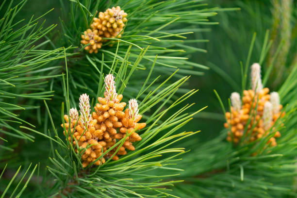 pine tree bloem close-up - naaldbos stockfoto's en -beelden