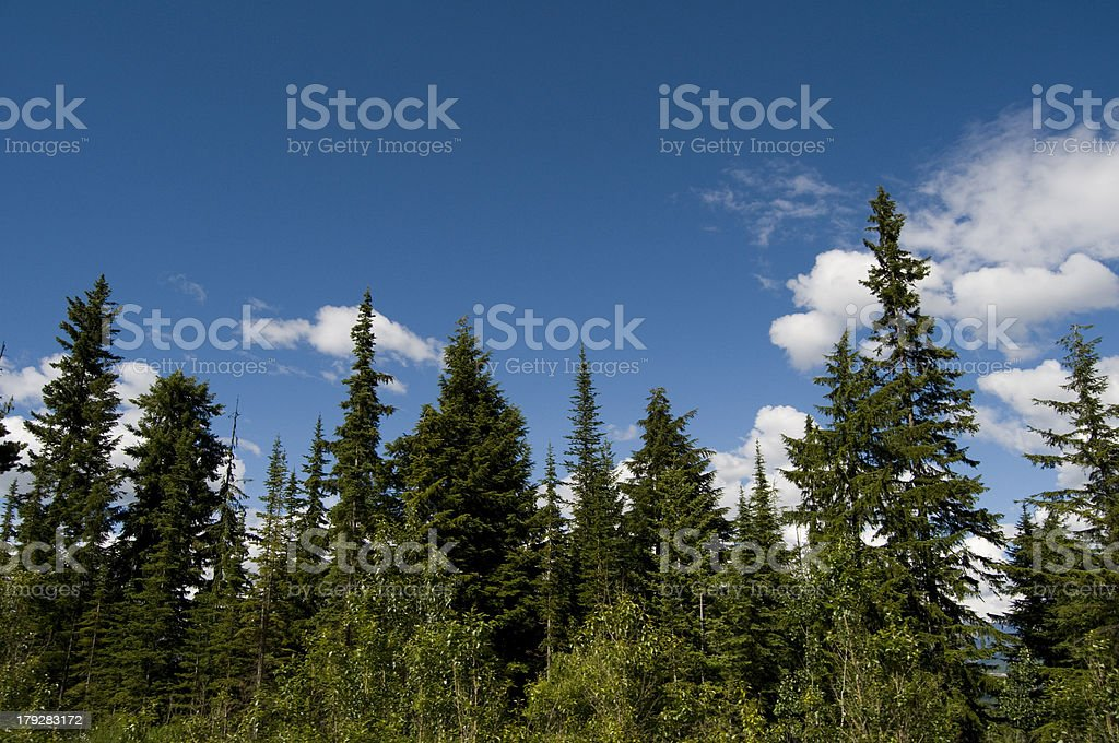 Pine Tree Forest, Banff royalty-free stock photo
