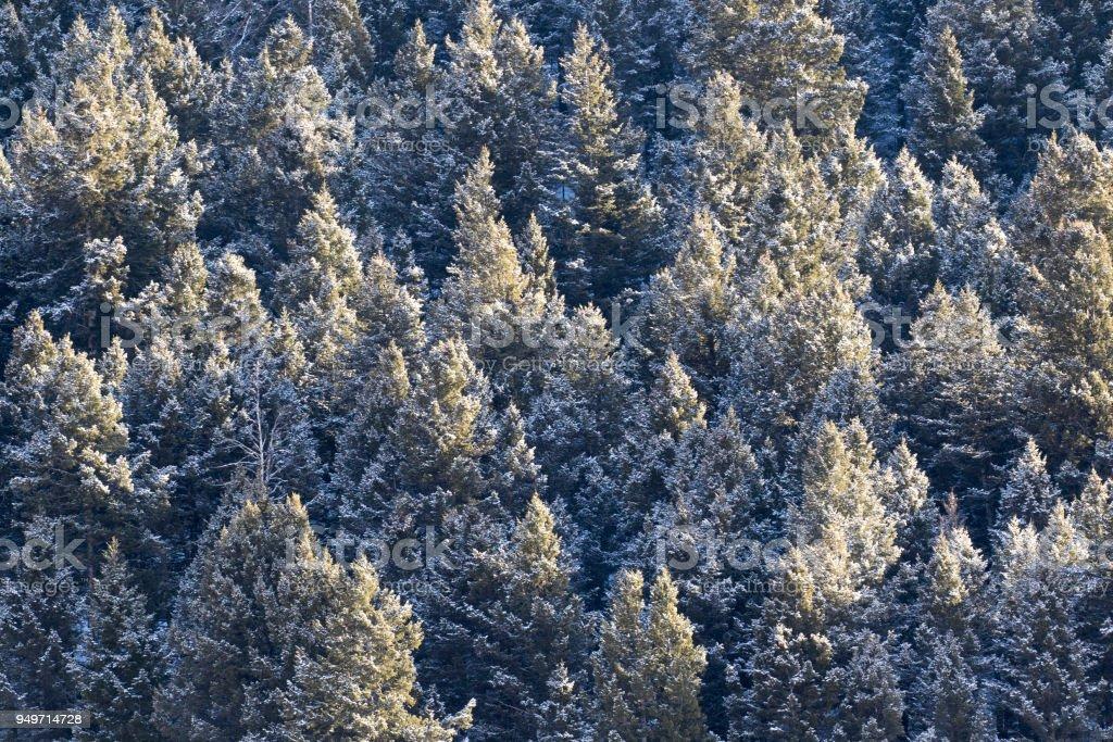 Kiefer Wald Baumkronen mit Schnee bedeckt – Foto