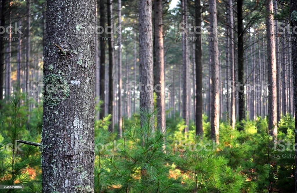 Pine tree forest early in the morning. stock photo
