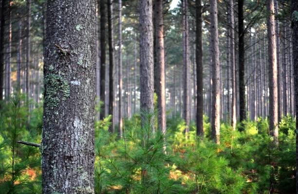 kiefernwald in den frühen morgenstunden. - baumgruppe stock-fotos und bilder