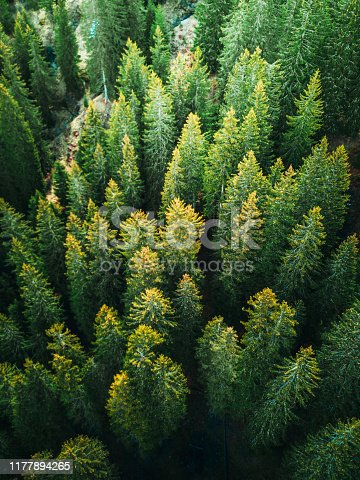 pine tree forest in switzerland