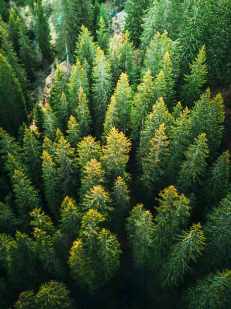 pine tree forest in switzerland stock photo