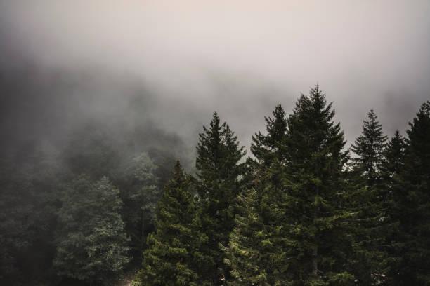 Pine tree forest on a cliff under foggy rainy sky stock photo