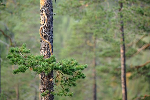 pine tree forest - fur bildbanksfoton och bilder