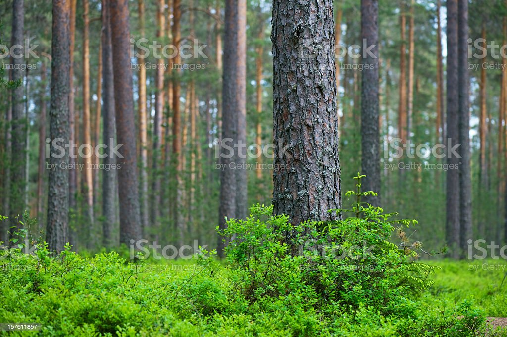 Pine tree forest with blanket of green under cover stock photo