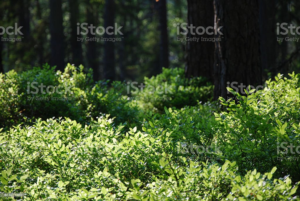 Pine tree forest with fresh green ground stock photo