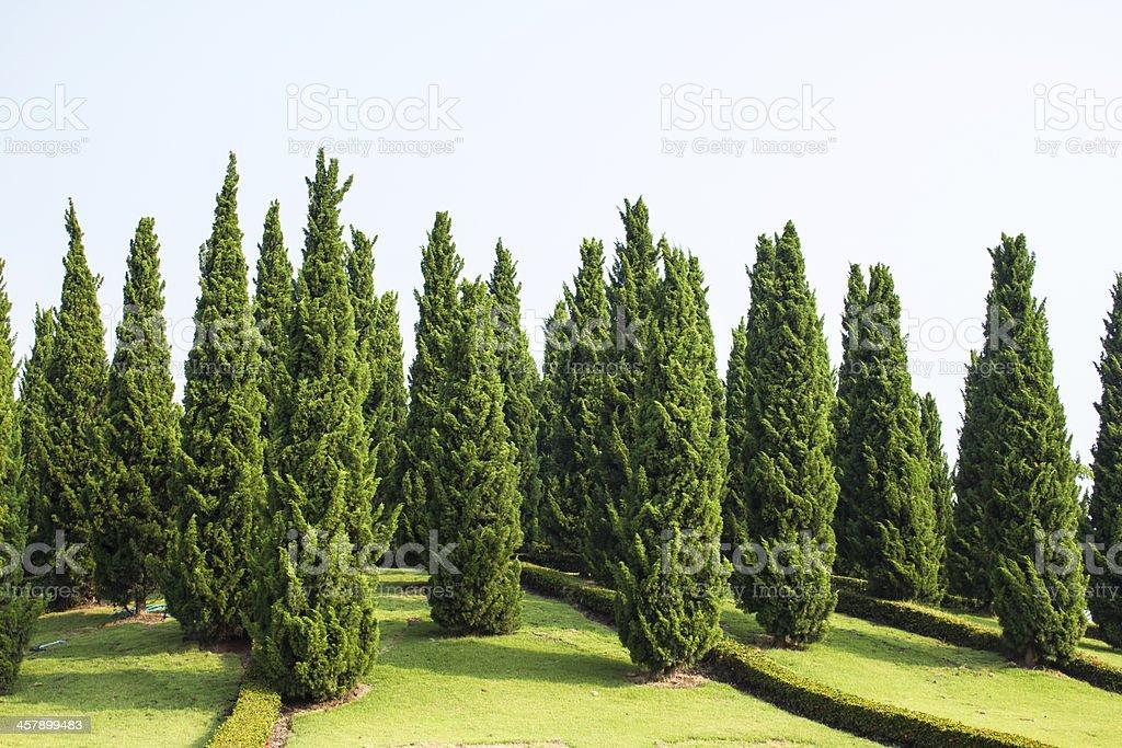 Pine tree garden with blue sky royalty-free stock photo