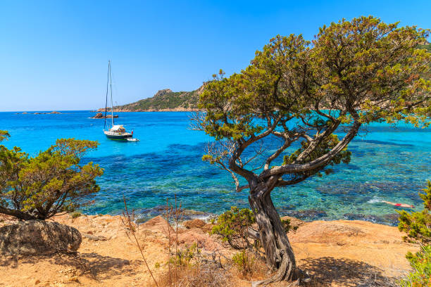 Pine tree in beautiful sea bay near Roccapina beach, Corsica island, France Corsica is the largest French island on Mediterranean Sea and most popular holiday destination for French people. sailing dinghy stock pictures, royalty-free photos & images
