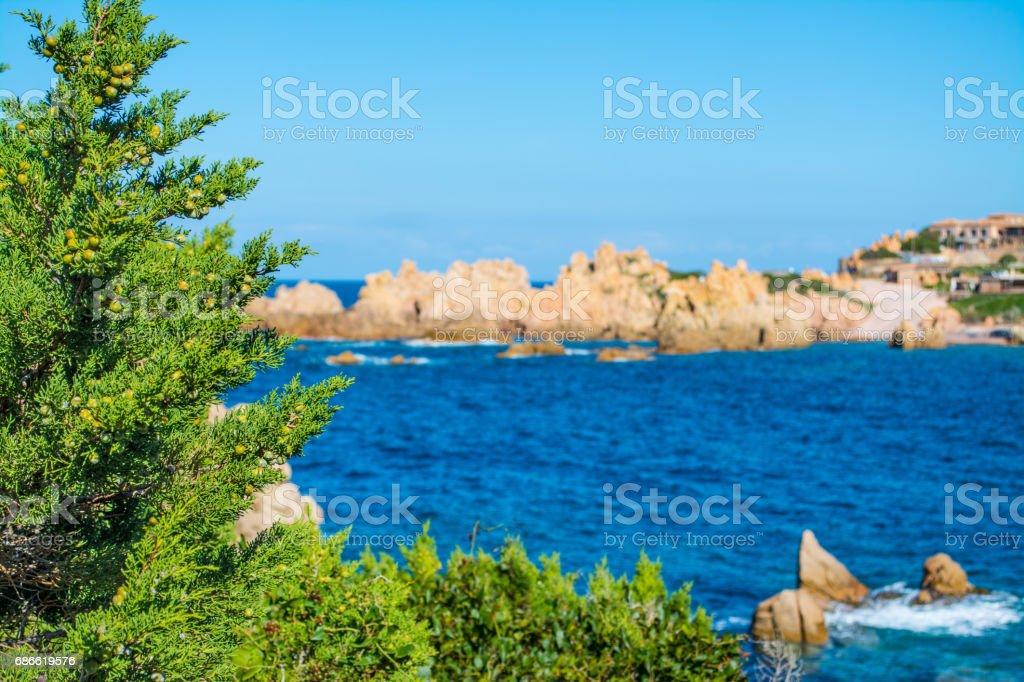 Pine tree in Costa Paradiso royalty-free stock photo