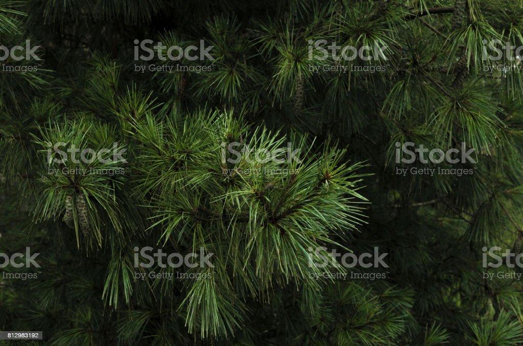 Pine tree in dark tone stock photo
