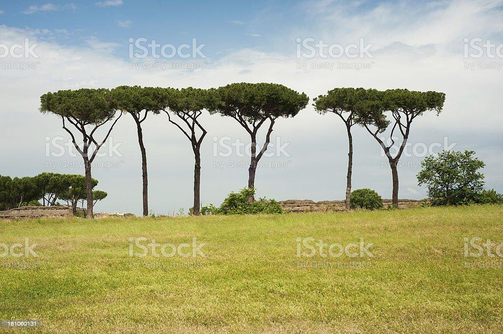 Pine tree in Parco degli acquedotti (Rome) stock photo
