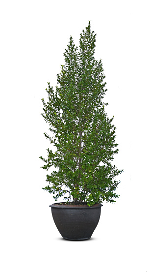 Pine tree in pot isolated on white background