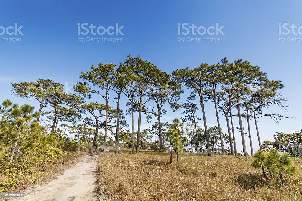 Pine tree in rain forest royalty-free stock photo