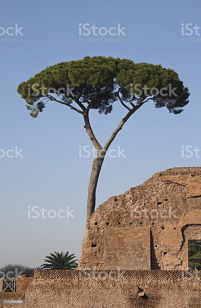 Pine Tree in Rome royalty-free stock photo