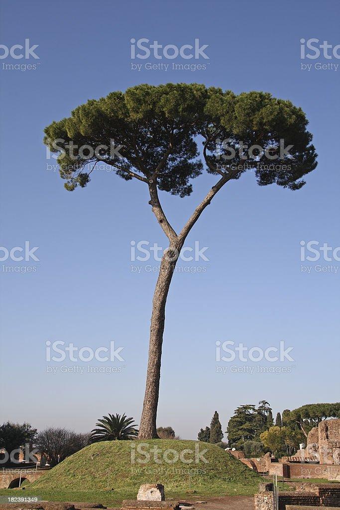 Pine Tree in Rome. stock photo