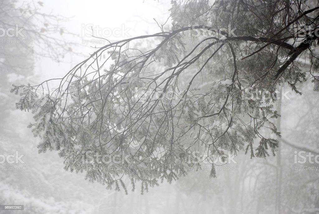 pine tree in snow royalty-free stock photo