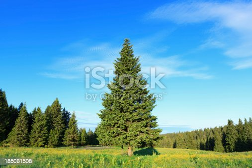 Rural landscape with pine trees.