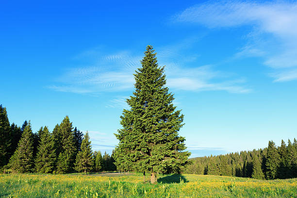 Pine Tree In Spring stock photo