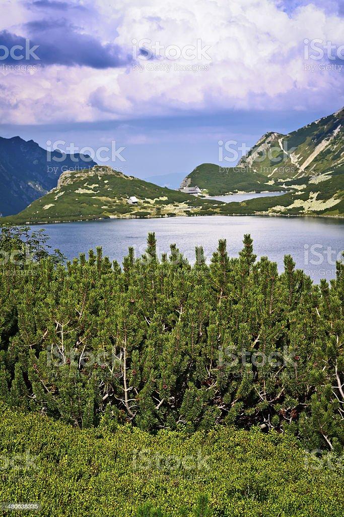 Pine tree in Tatra Mountains royalty-free stock photo